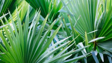 Photo of Winterharte Palmen: Diese Palmen halten Frost und Schnee im Freien aus
