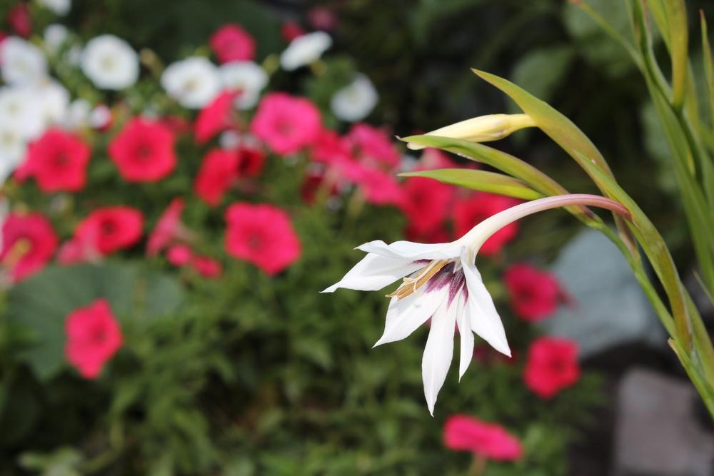 Stern Gladiolus