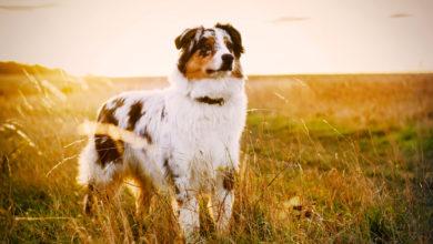 Photo of Australian Shepherd: Ein unermüdlicher und lebensfroher Beschützer