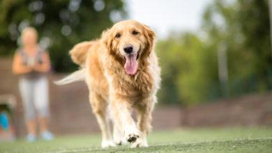Photo of Golden Retriever: Der ideale Familienhund